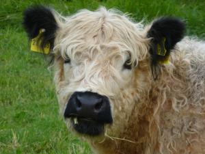 Eine Teddybär-Kuh