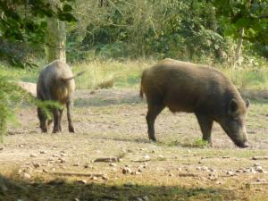 (halb)Wildschweine