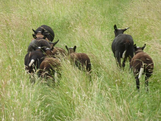 Die Ziegen kennen den Weg