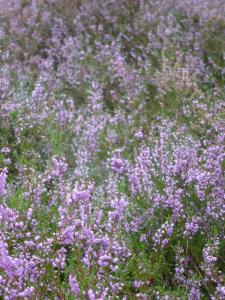 Die Heide blüht