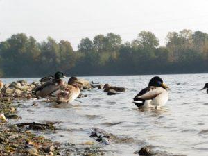 Enten am Grünen See im Volkardeyer Park in Ratingen