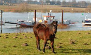 """Seepferdchen"" an der Maas bei Velden"