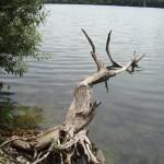 Totholz im See