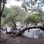 Knorrige Bäume am Latumer See